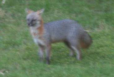fox-cropped