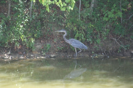great-blue-heron-1