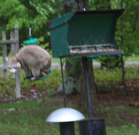 raccoon-on-feeder-cropped