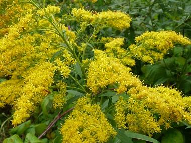 goldenrod-flowers