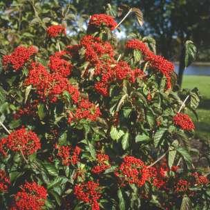 Viburnum Cardinal Candy 2_1080_1080_60