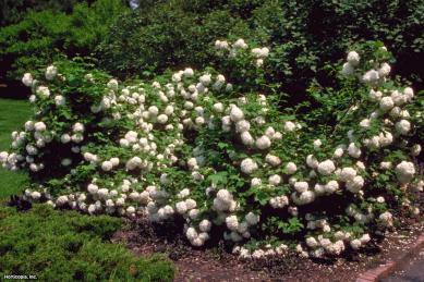 viburnum op roseum