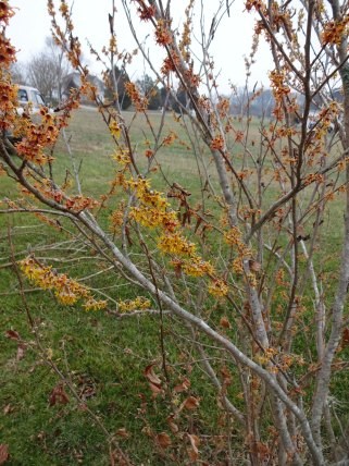 Witch Hazel 4